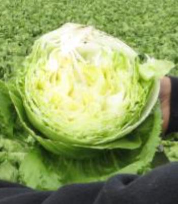 lettuceAfter